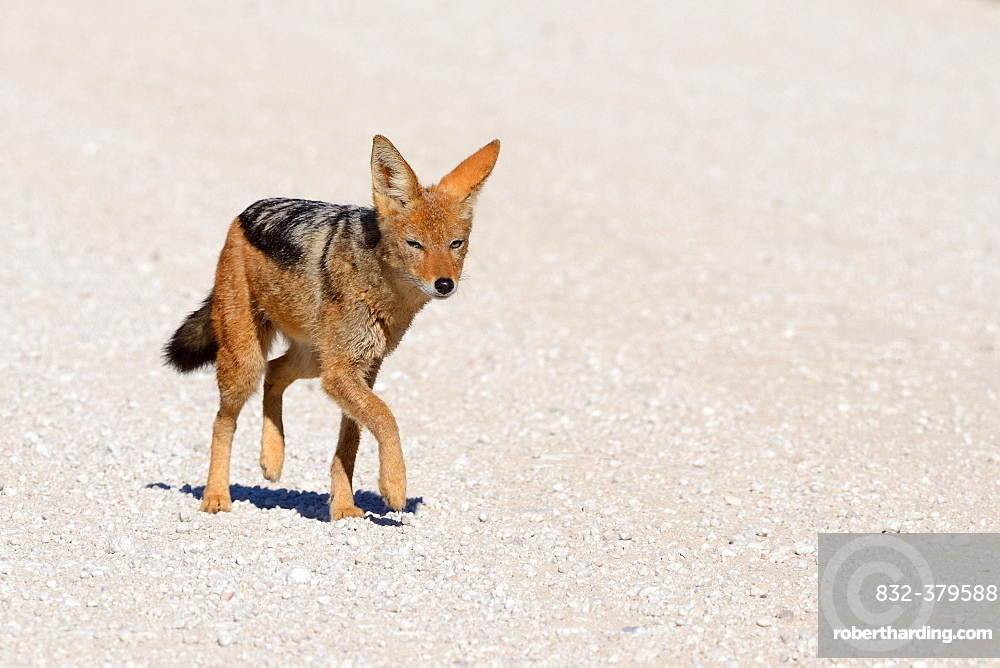 Black-backed Jackal (Canis mesomelas) walking on a gravel road, Kgalagadi Transfrontier Park, Northern Cape, South Africa, Africa