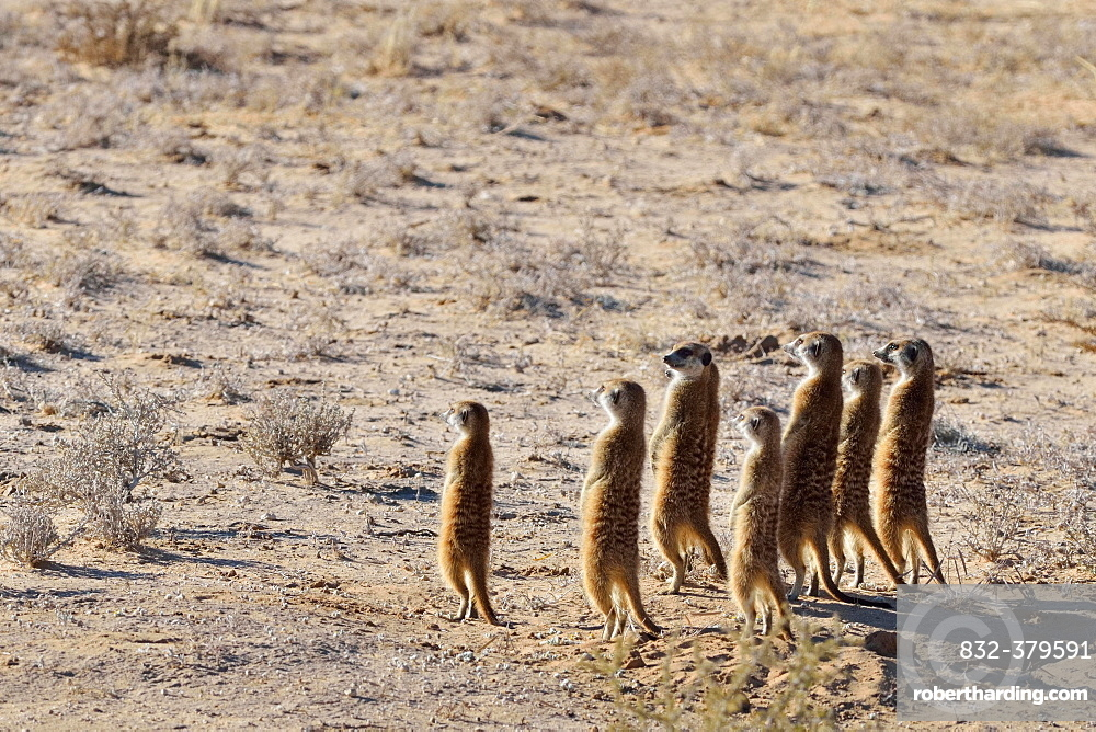 Group of Meerkats (Suricata suricatta), standing, attentive, Kgalagadi Transfrontier Park, Northern Cape, South Africa, Africa