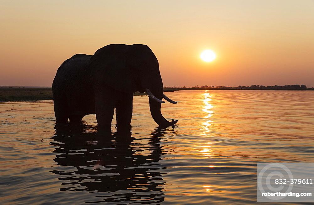 African Elephant (Loxodonta africana), bull at sunset in the Chobe River, Chobe National Park, Botswana, Africa