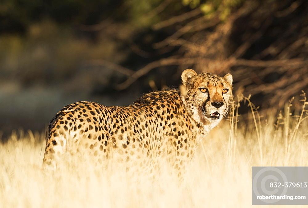 Cheetah (Acinonyx jubatus), male, standing in high grass, captive, Namibia, Africa