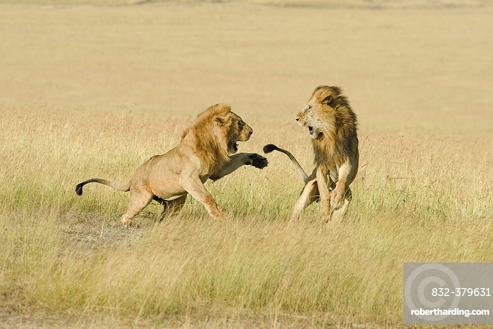 Two male lions (Panthera leo), son and father fighting for dominance, Masai Mara, Narok County, Kenya, Africa