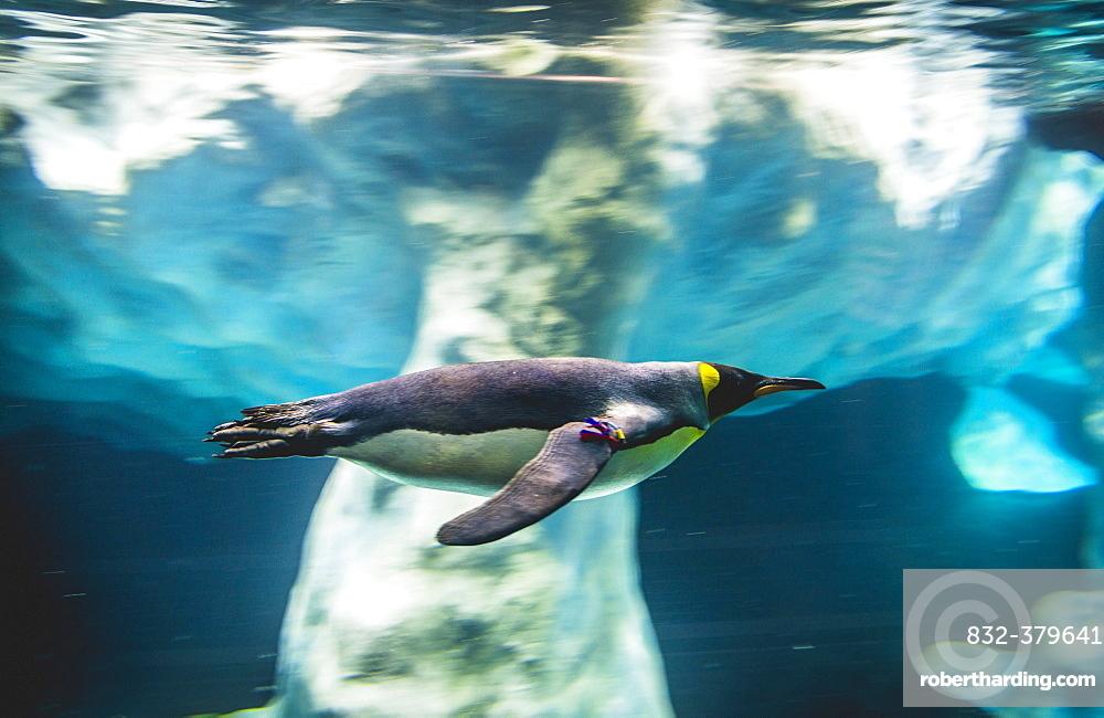 King penguin (Aptenodytes patagonicus) dives, swims underwater, underwater photo, penguinarium planet Penguin, Loro Parque, Tenerife Zoo, Puerto de la Cruz, Tenerife, Canary Islands, Spain, Europe
