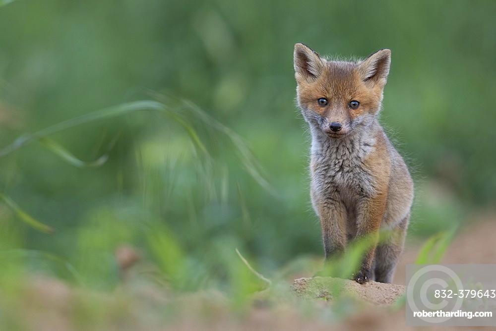 Red fox (Vulpes vulpes) cub by its burrow, Rhine-Main region, Hesse, Germany, Europe
