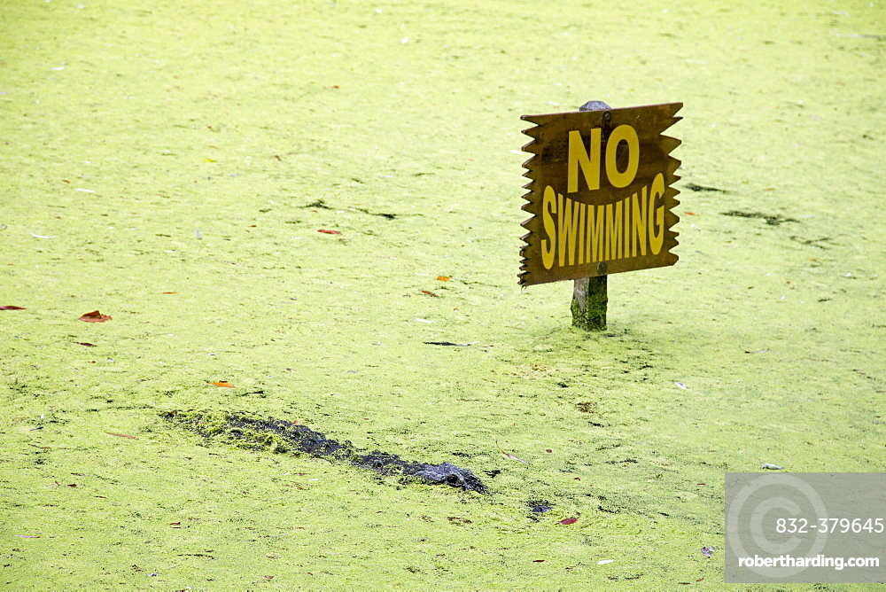 Alligator in a lagoon, next to a no swimming sign, Homosassa Springs Wildlife State Park, Homosassa Springs, Florida, USA, North America