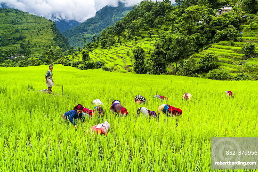 Agricultural landscape, women working in green terrace rice fields, in Upper Marsyangdi valley, Bahundanda, Lamjung District, Nepal, Asia