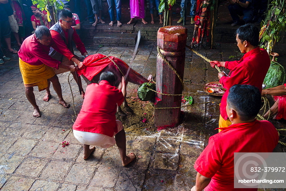 Priest with big sword sacrificing water buffalo, Hindu festival Dashain, Gorakhnath temple, Gorkha, Gorkha District, Nepal, Asia