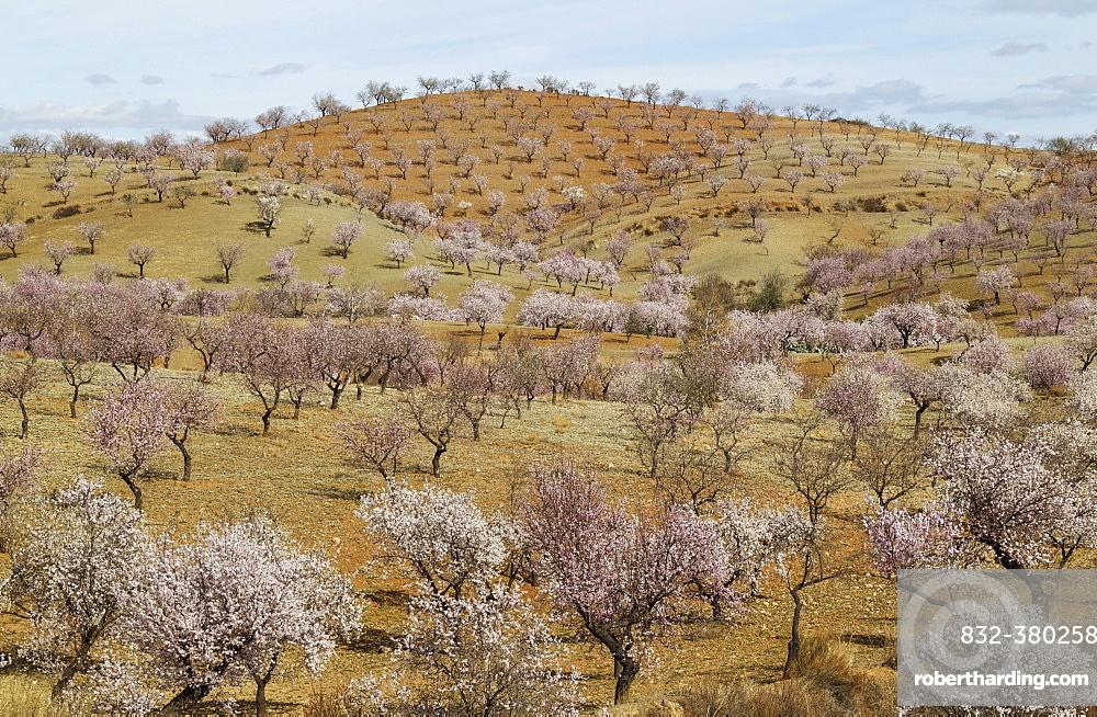 Cultivated Almond trees (Prunus dulcis) in full blossom, Almeria province, Andalusia, Spain, Europe