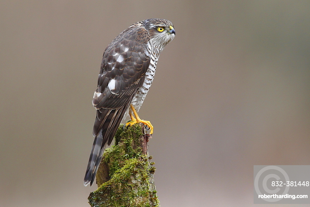 Sparrowhawk (Accipiter nisus), female perched on a moss-covered tree trunk, North Rhine-Westphalia, Germany, Europe