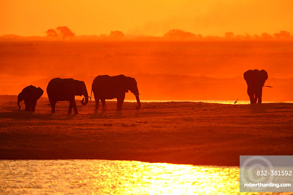 African Bush Elephants (Loxodonta africana) on the water edge at sunset, Chobe National Park, Kasane, North-West District, Botswana, Africa