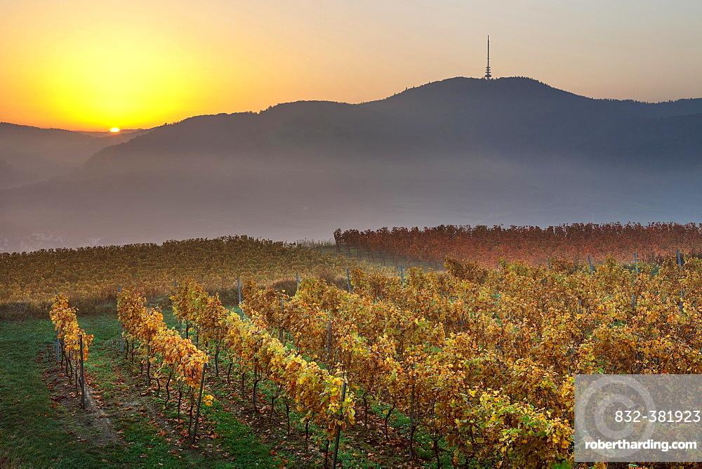 Autumnal vineyard in the Kaiserstuhl hills at sunrise with early morning fog, Mondhalde viewpoint, Oberrottweil, Vogtsburg im Kaiserstuhl, Baden-Wurttemberg, Germany, Europe