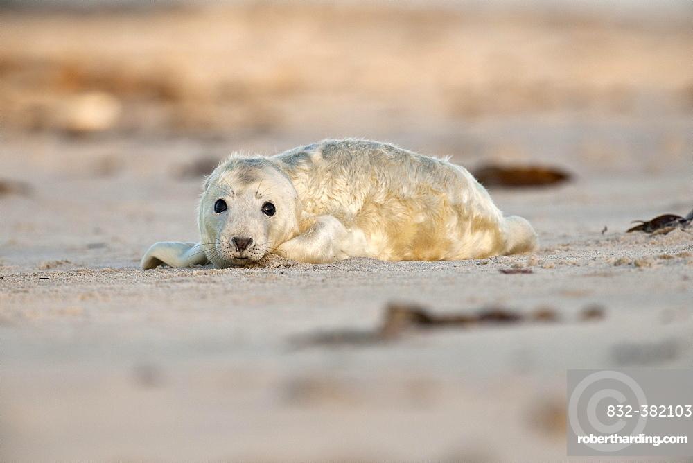 Grey Seal (Halichoerus grypus) on the beach, howler, Heligoland, Schleswig-Holstein, Germany, Europe