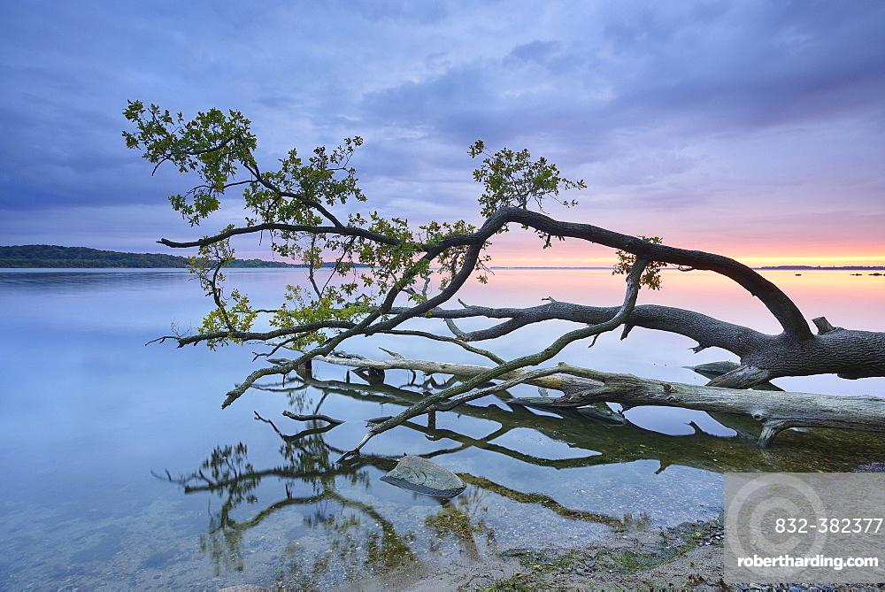 Trunk of an oak tree lying in water, Bay of Greifswald, at back Vilm, sunset, near Putbus, Rugen, Mecklenburg-Western Pomerania, Germany, Europe