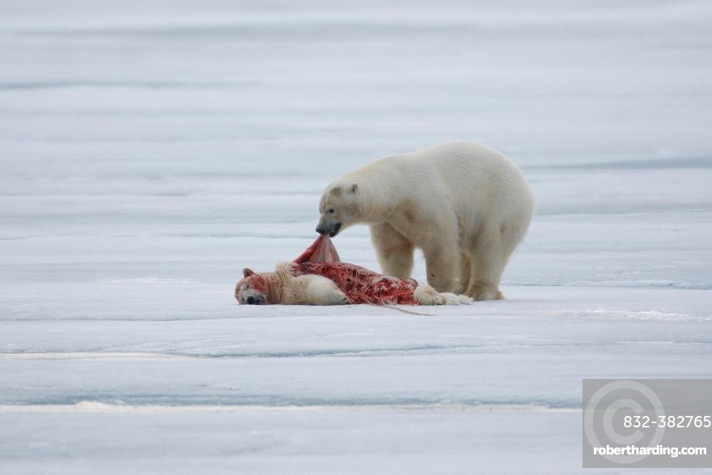 Polar bear (Ursus maritimus), skins and eats killed conspecific, pack ice at Kvitoya, Spitsbergen archipelago, Svalbard, Norway, Europe