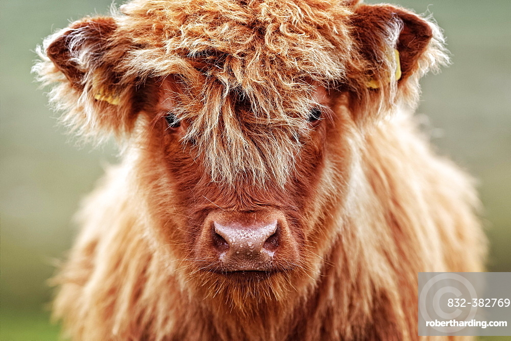 Highland cattle (Bos taurus), young animal on pasture, animal portrait, Scotland, United Kingdom, Europe
