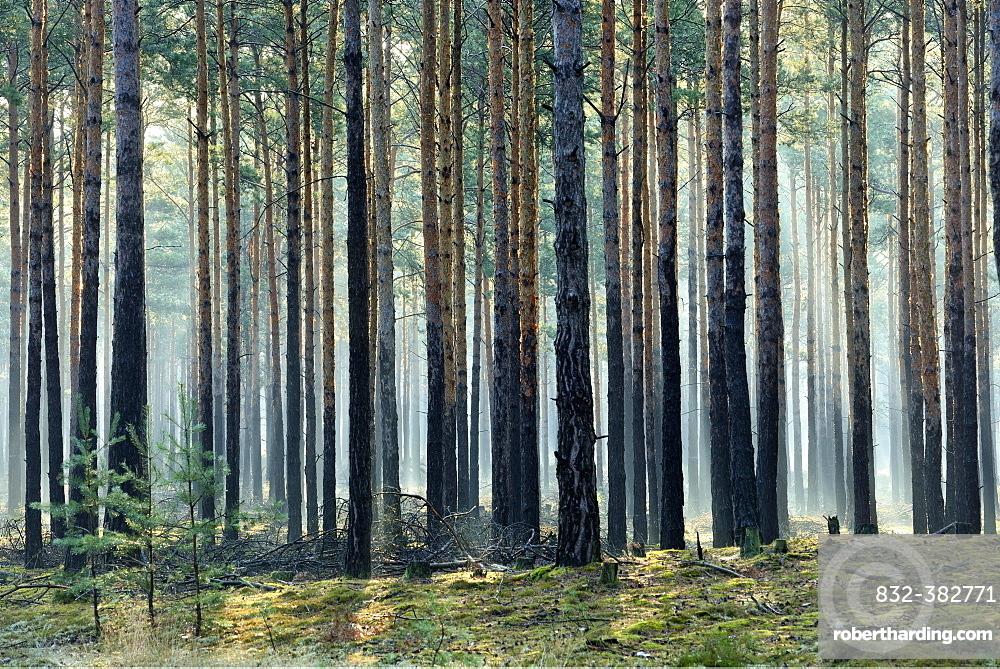 Pine forest (Pinus), monoculture, morning mist, sun beams through tree trunks, Brandenburg, Germany, Europe