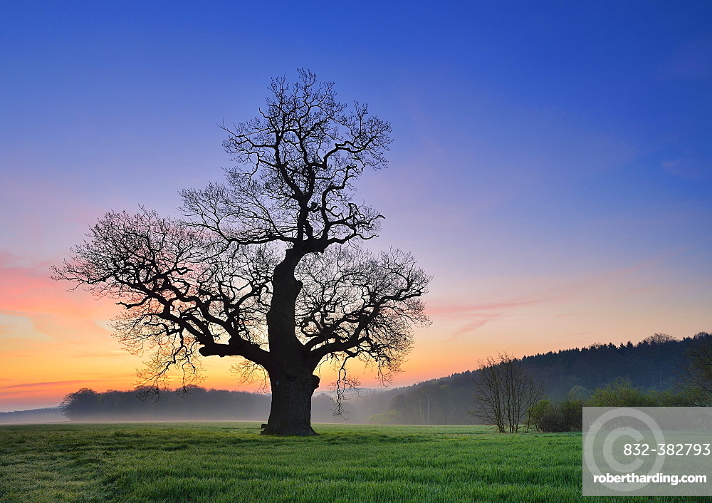 Old solitary Oak (Quercus) in green field, dawn, morning fog, Harz foreland, Saxony-Anhalt, Germany, Europe