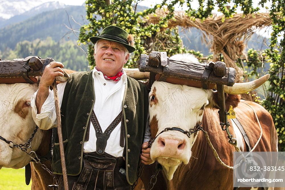 Man wearing traditional dress with two oxen in a yoke, Gauderfest festival, Zell am Ziller, Zillertal, North Tyrol, Austria, Europe