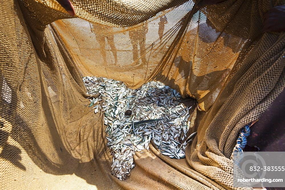 Catch in a net on the beach, near Kottegoda, Southern Province, Sri Lanka, Asia