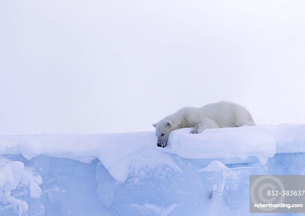 Polar bear (Ursus maritimus), cub, 15 months old, looks down from an iceberg, Unorganized Baffin, Baffin Island, Nunavut, Canada, North America