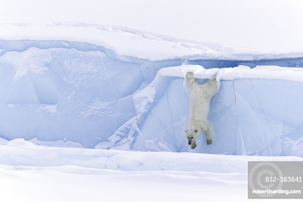 Polar bear (Ursus maritimus), jumping from an iceberg, Unorganized Baffin, Baffin Island, Nunavut, Canada, North America
