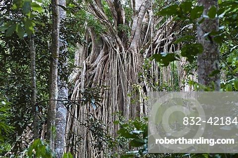 Strangler Fig Tree, Curtain Fig Tree (Ficus virens), rainforest, Curtain Fig Tree National Park, Atherton Tablelands, Queensland, Australia