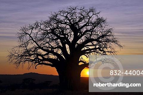 Baobab or Monkey-bread Tree (Adansonia digitata), Tarangire National Park, Tanzania, Africa