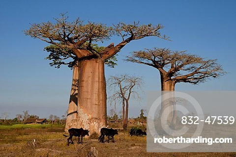 African Baobab tree (baobab), baobab-forest near Morondava on the west coast of Madagascar, Africa