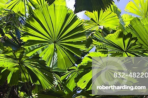 Australian Fan Palms (Licuala ramsayi) in the rainforest, Mission Beach, northern Queensland, Australia