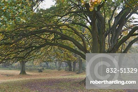 Oak trees (Quercus robur) in Hudewald forest, Borkener Paradies nature reserve, Emsland region, Lower Saxony, Germany, Europe