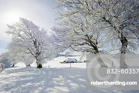Snow-covered beech trees on Mt Schauinsland, Freiburg im Breisgau, Black Forest, Baden-Wuerttemberg, Germany, Europe