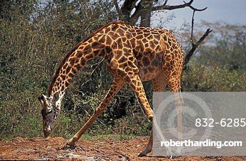 giraffe (giraffe camelopardis rothschildi), Samburu NP, Kenya, Africa