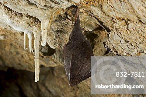 Lesser horseshoe bat (Rhinolophus hipposideros) hibernating in a cave, Thuringia, Germany, Europe