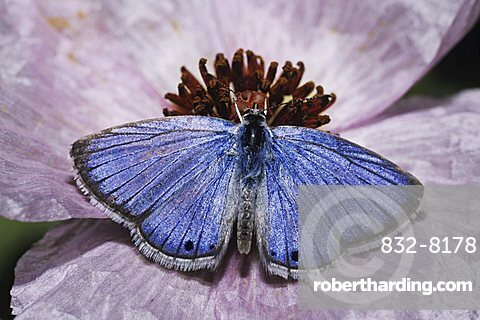 Reakirt's Blue (Hemiargus isola), male feeding from prickly poppy flower, Starr County, Rio Grande Valley, Texas, USA
