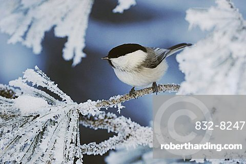 Willow Tit (Parus montanus), adult on frost covered Swiss Stone Pine (Pinus cembra) at minus 15 degrees Celsius, St. Moritz, Grisson, Alps, Switzerland, Europe