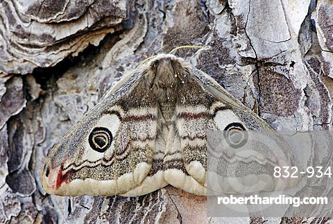 Small Emperor Moth (Saturnia pavonia), female, Provence, South France, Europe