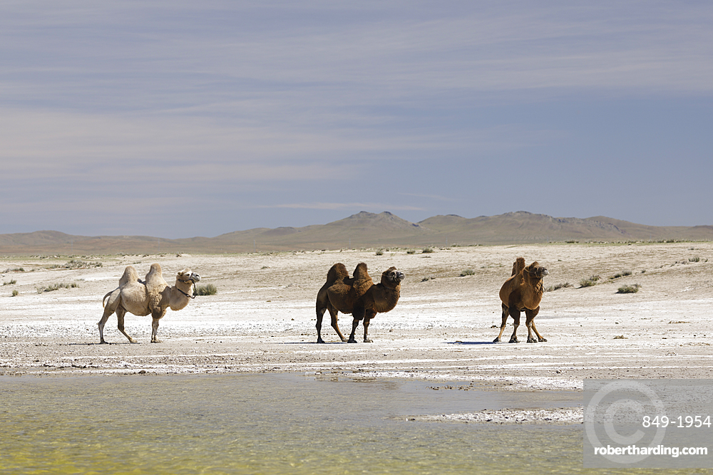 Camels in the Mongolian wilderness, Mongolia, Central Asia, Asia