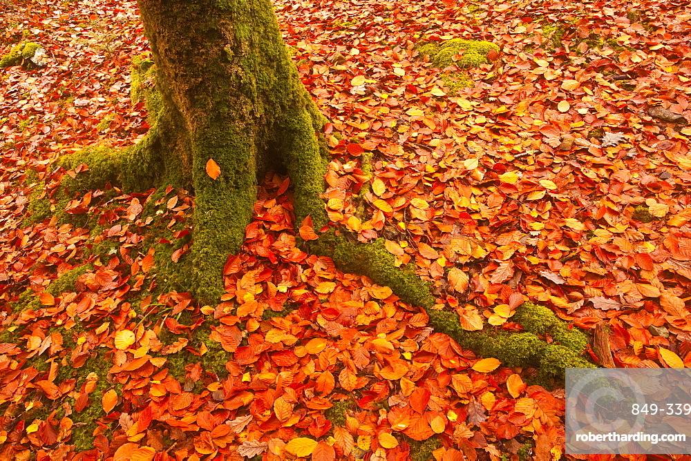 Autumn leaves in Charles Wood, Dartmoor National Park, Devon, England, United Kingdom, Europe