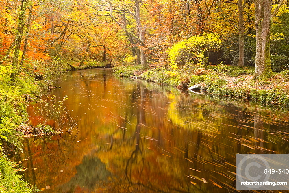 Autumn colours around the River Teign and Hannicombe Wood near to Fingle Bridge, Dartmoor National Park, Devon, England, United Kingdom, Europe