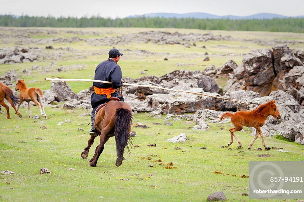 June 13, 2011 / Mongolia / Gou Barih day. Mongolian catching a foal.