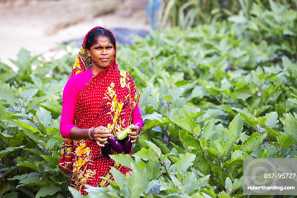A subsistence farmer picking Aubergines from their vegetable garden in the Sunderbans, Ganges, Delta, India, the area is very low lying and vulnerable to sea level rise.