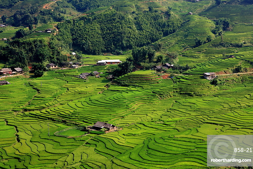 Wet rice is commonly grown in terraced mountain valley of northern Vietnam surrounding Sapa, Lao Cai, Vietnam
