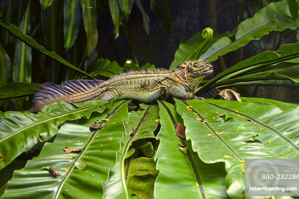 Sail-fin Dragon on fern leaves- Singapore Zoo
