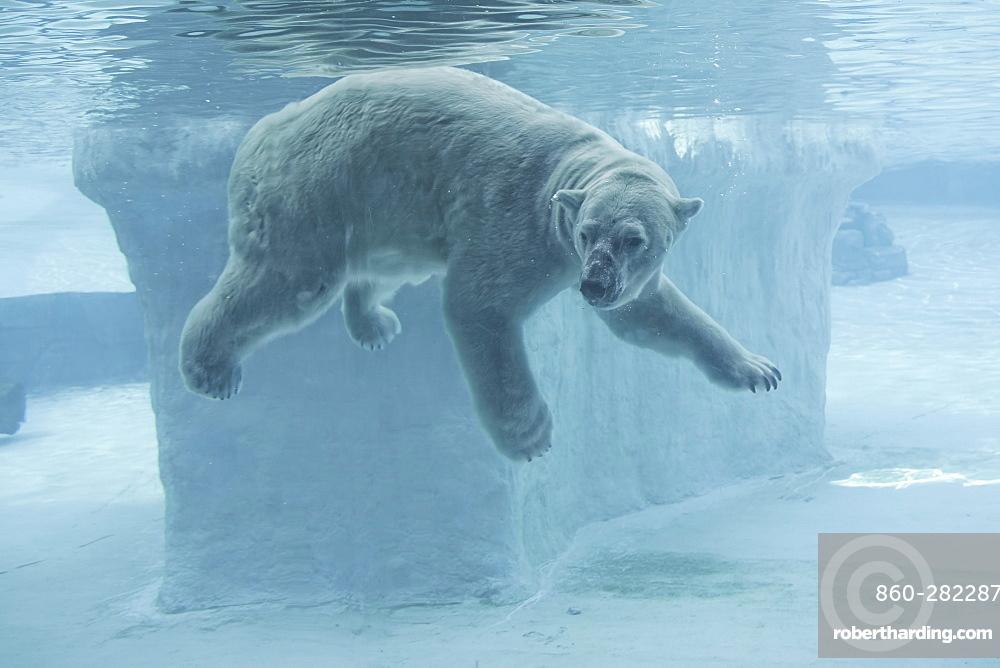 Polar Bear underwater, Singapore Zoo