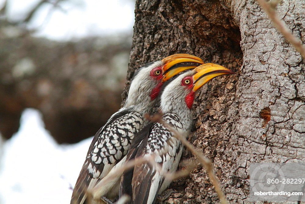 Southern Yellow-billed Hornbills, Kruger NP South Africa