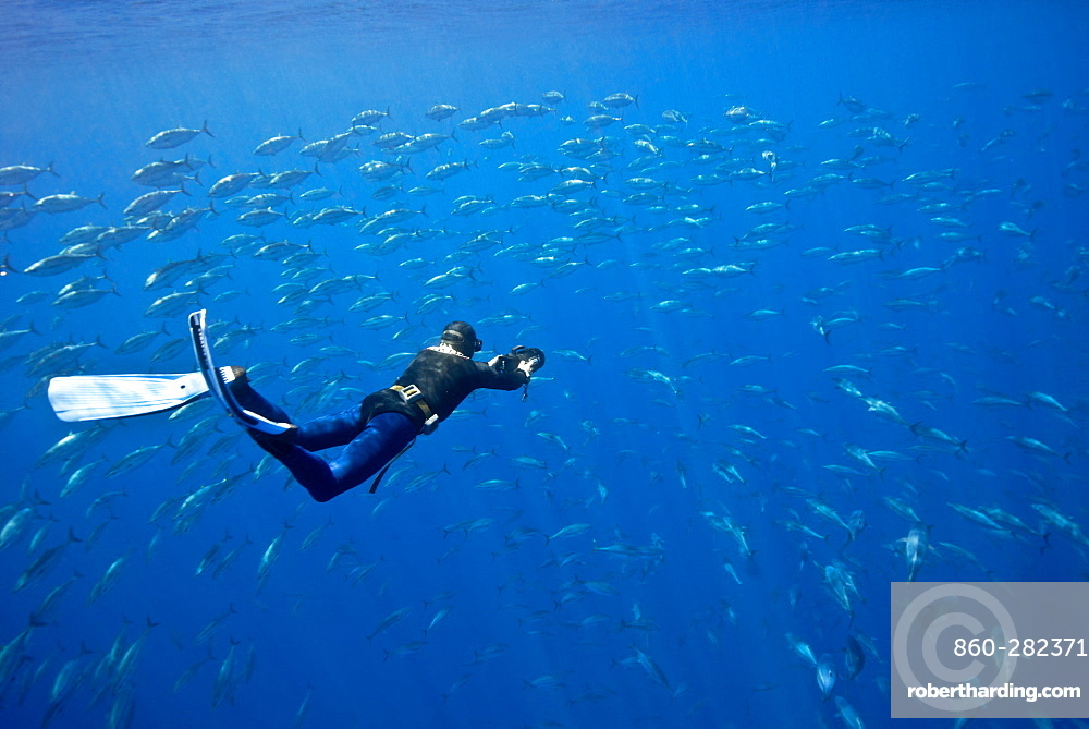 Diver and school of young bluefin tuna, Azores