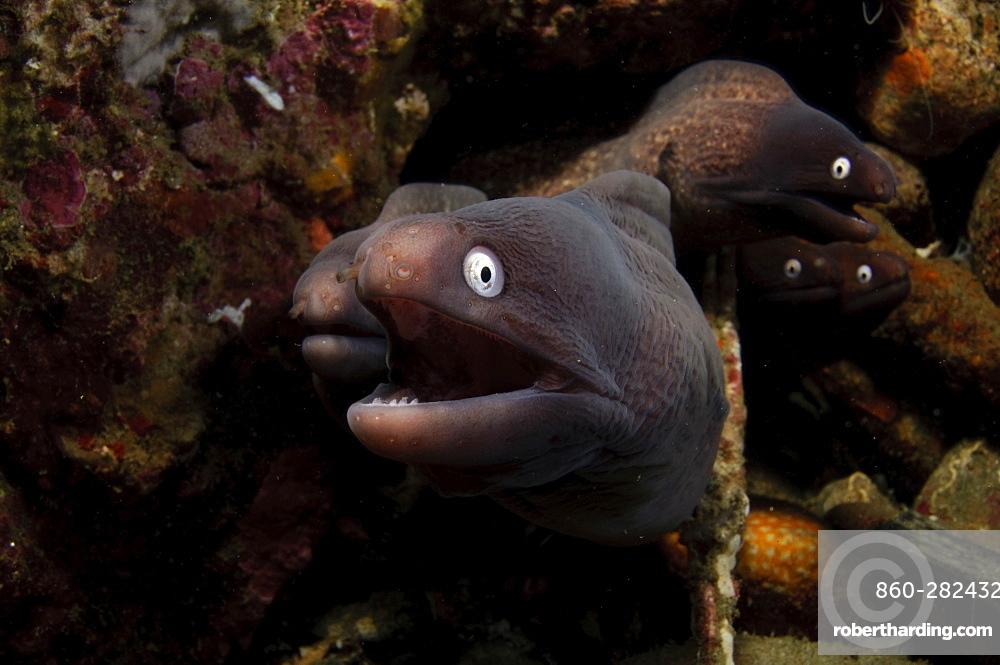 White Eye Moray Group on reef, Moluccus  Indonesia