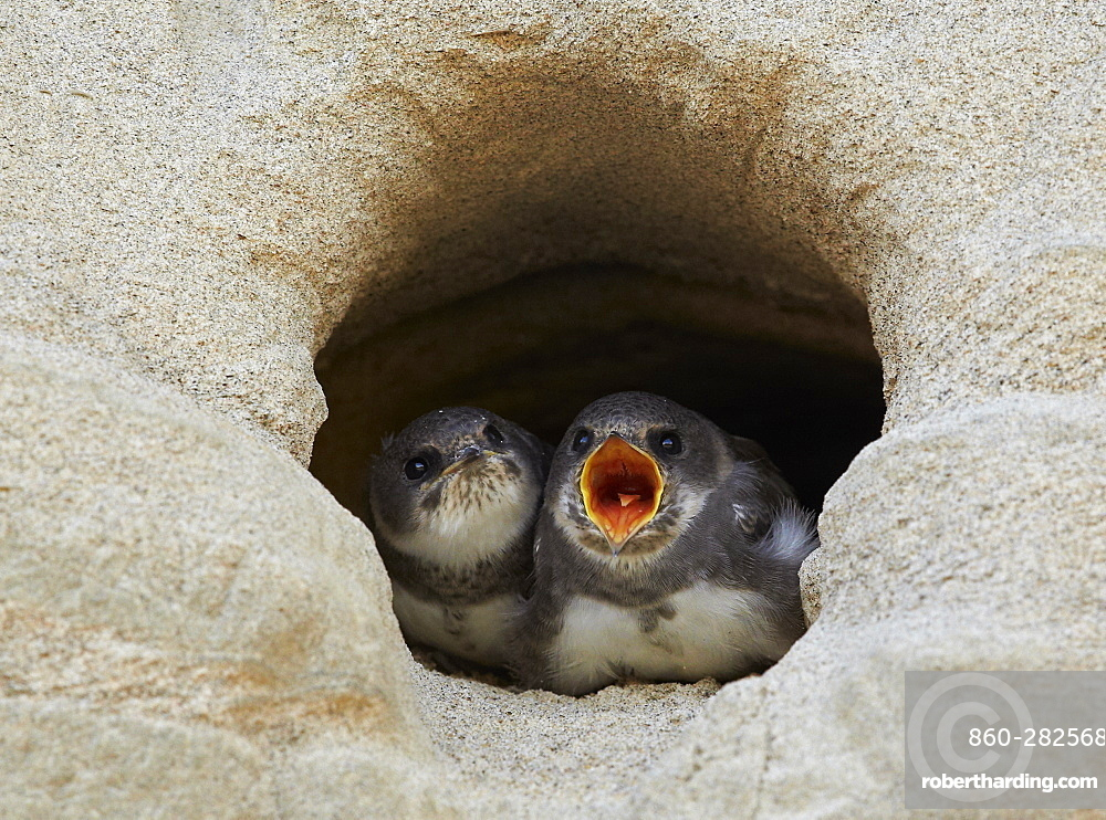 Young Sand Martins landing to nest burrow, Finland
