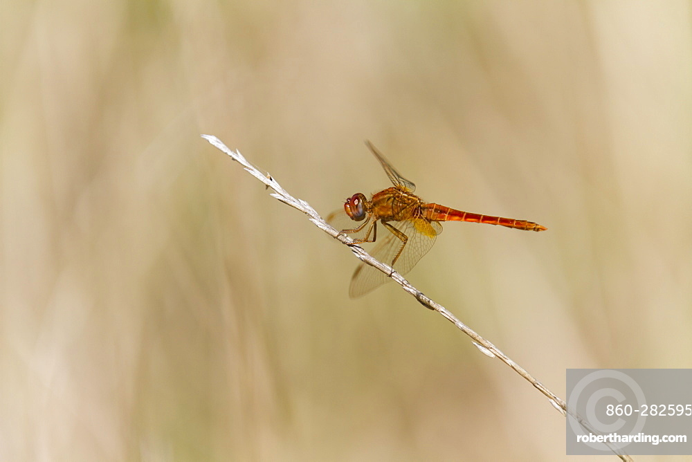 Male Red Darter on grass stem, France