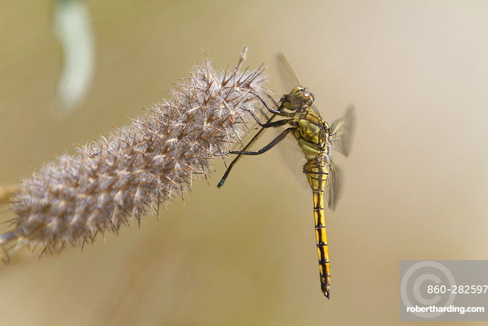Black-tail skimmer eating a Damselfly, France