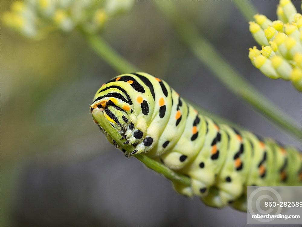 Swallowtail caterpillar on Fennel, Franche-Comté France
